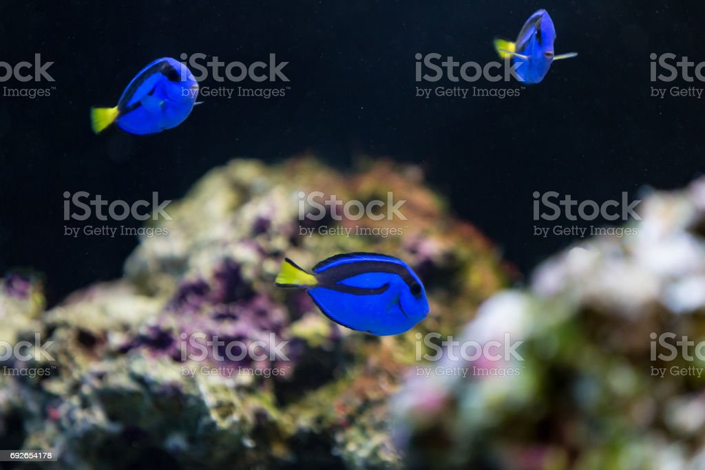 Blue hippo tangs stock photo
