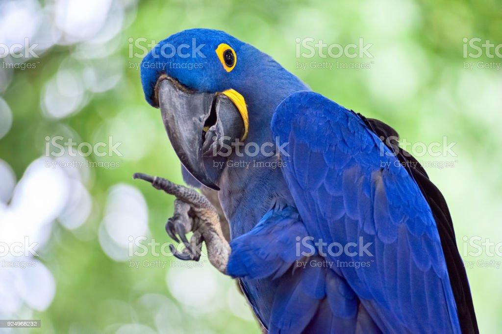 Blue Hyacinth Macaw Waving stock photo