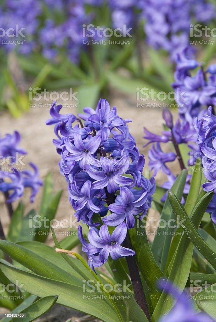 Blue foto de stock libre de derechos