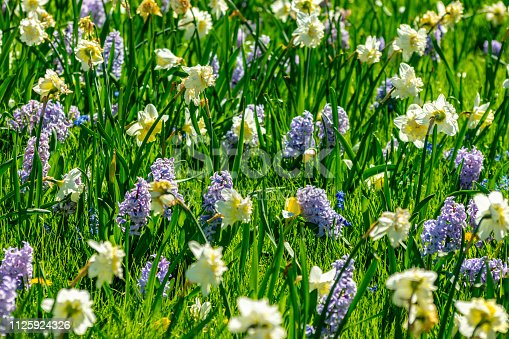 Blue Hyacinths and daffodils in a mixed flowerbed.