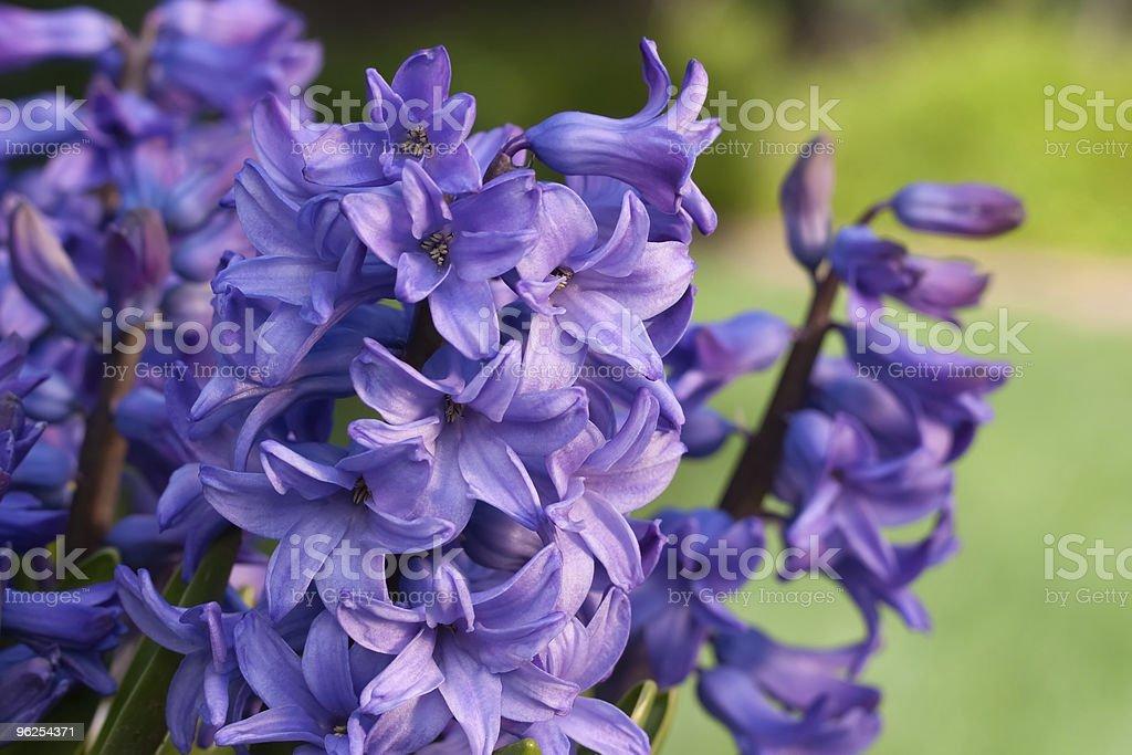 Jacintos azuis - Foto de stock de Azul royalty-free