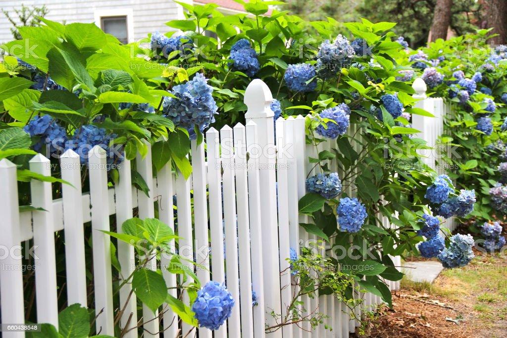 Perfekt Blaue Hortensie Am Weißen Zaun Entlang. In Der Ferne Hütte Lizenzfreies  Stock Foto