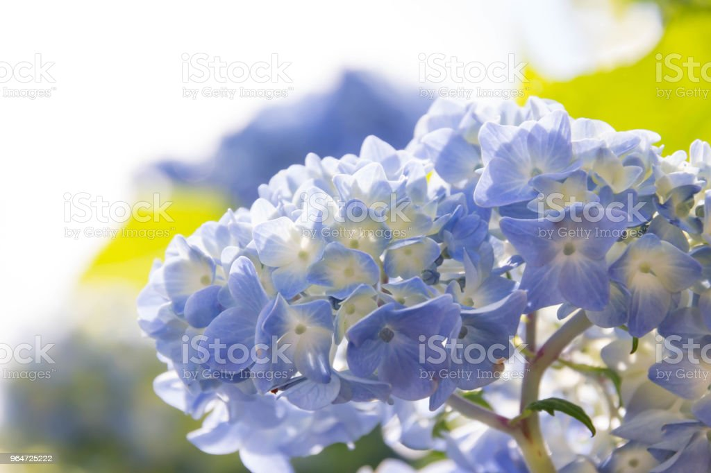 Blue hydrangea blooming in the blue sky royalty-free stock photo