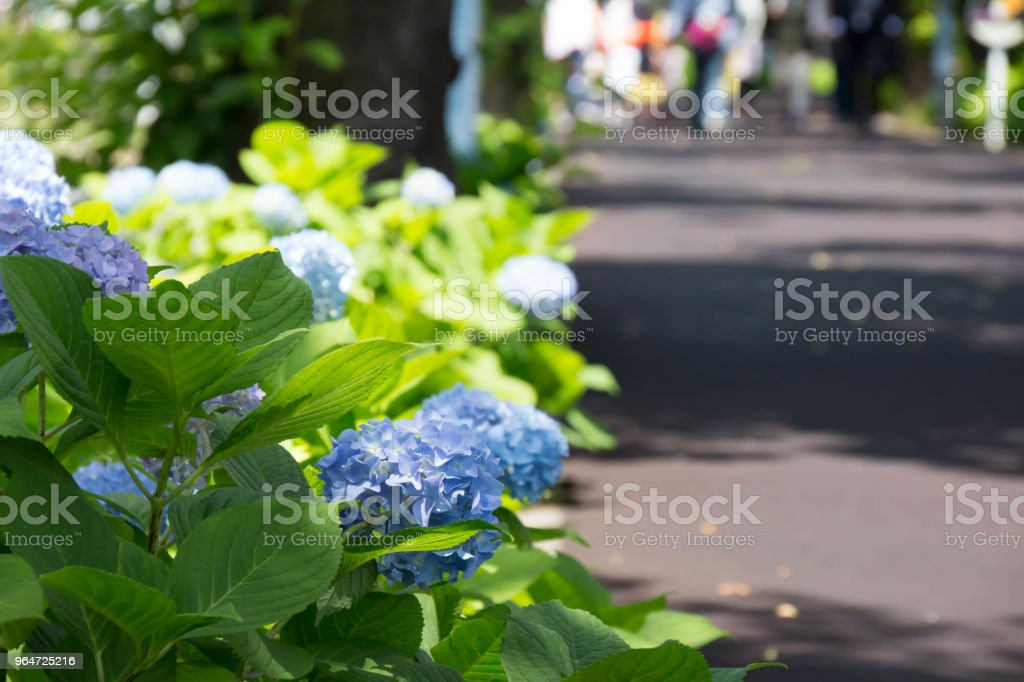 Blue hydrangea blooming in the street corner royalty-free stock photo