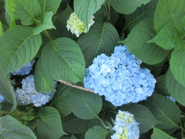 Blue Hydrangea Blooms stock photo