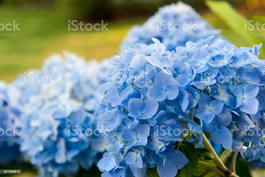 Blue hydrangea blossom  on the green grass stock photo
