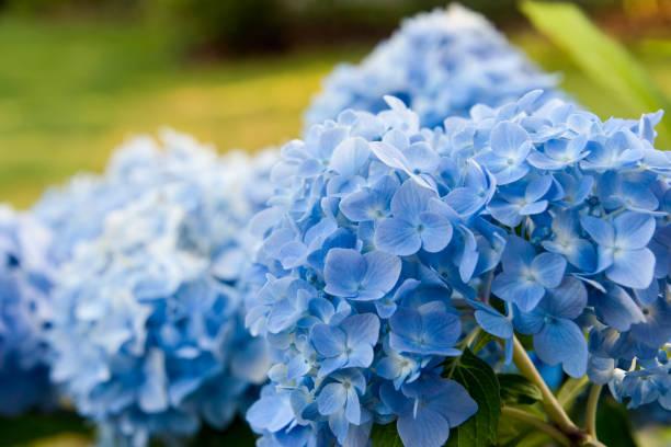 Blue hydrangea blossom  on the green grass stock photo