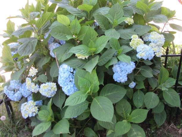 Blue hydrangea bush in sun stock photo