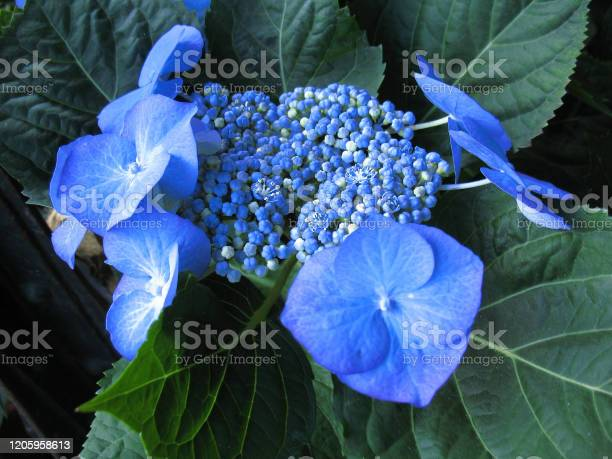 Photo of Blue hydrangea flower blossoming photo