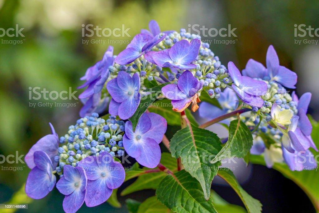 Blue Hydrangea Flower, closeup stock photo