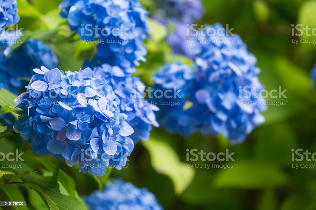 Blue Hydrangea flower in Japan stock photo