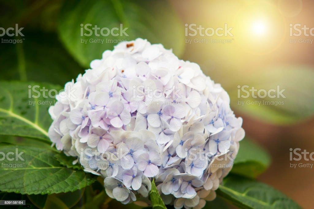 Blue Hydrangea flower in the garden with warm lighting stock photo