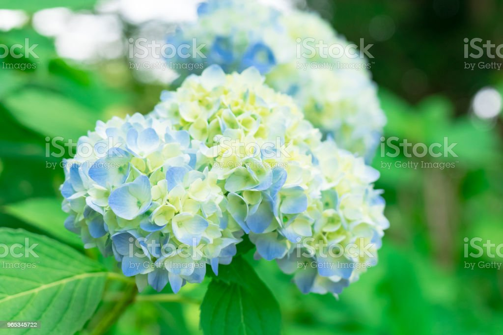 Blue hydrangea flower royalty-free stock photo