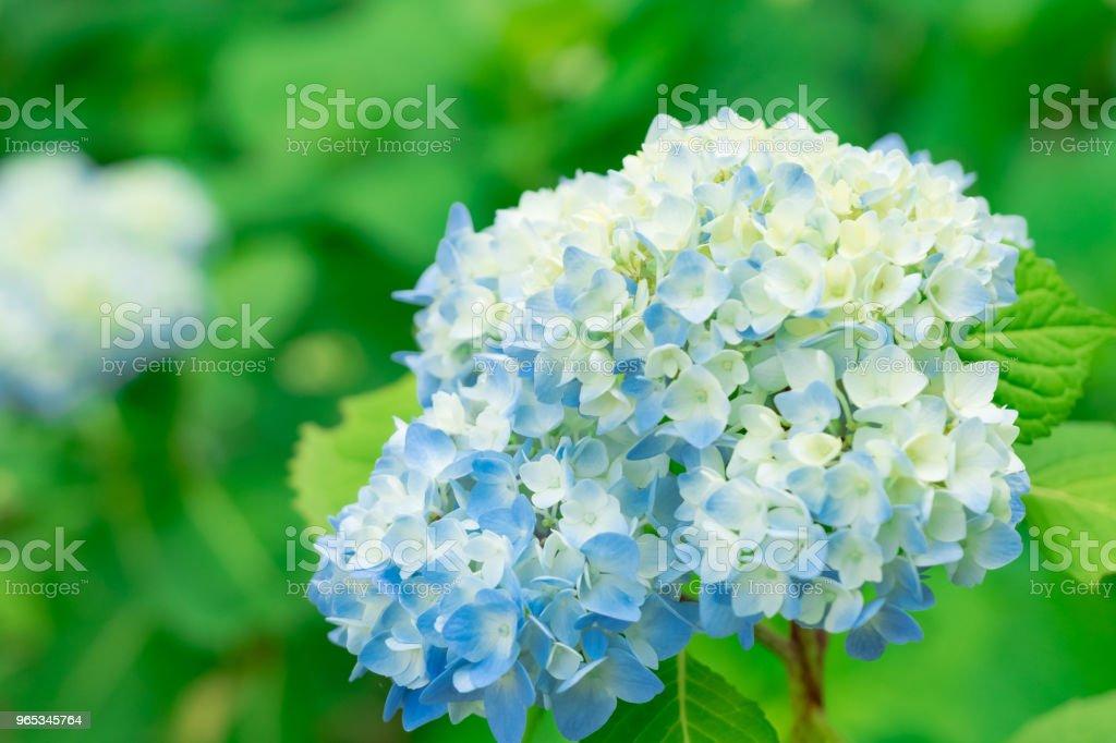 Blue hydrangea flower royalty-free stock photo