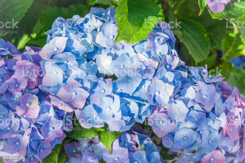 blue hydrangea flowers, Hortensia flower stock photo