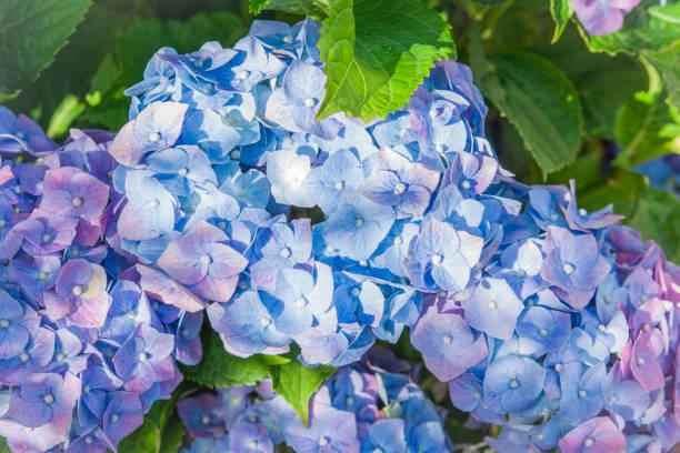 blue hydrangea flowers, Hortensia flower stock photo