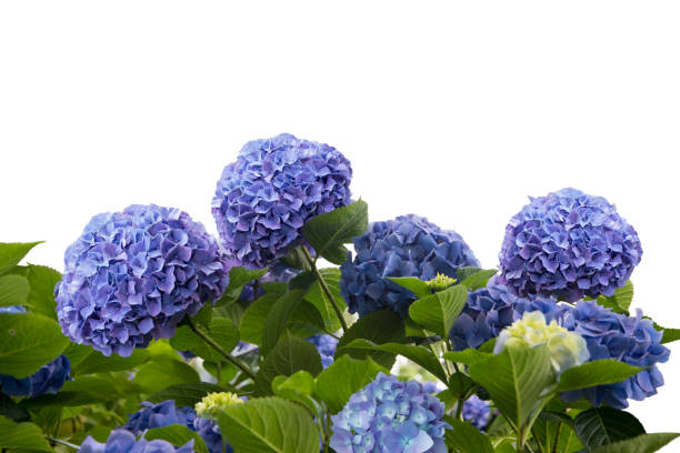 blauwe hortensia bloemen - hortensia stockfoto's en -beelden
