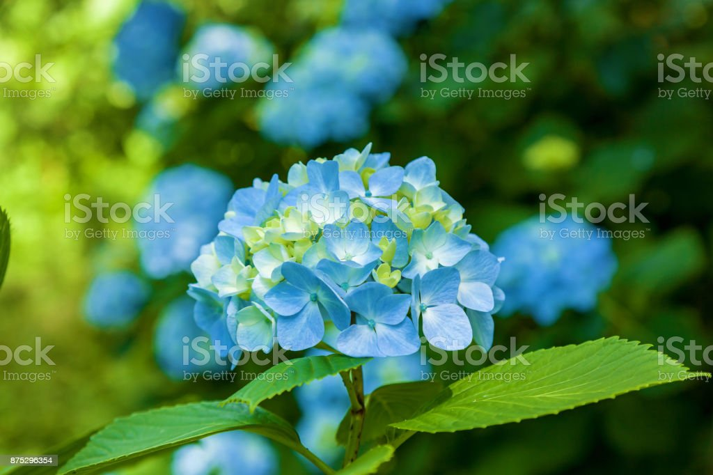 blue hydrangea flowers stock photo