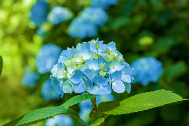 blue hydrangea flowers stock photo