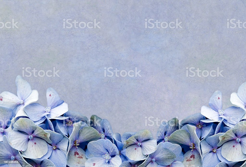 Blue Hydrangea Framed Background stock photo