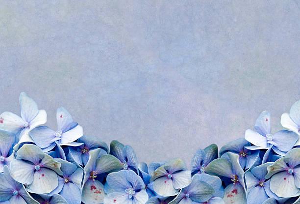 Blue Hydrangea Framed Background stock photo