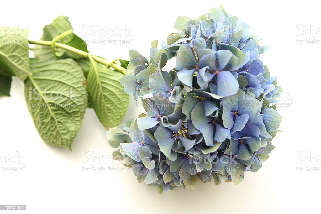 Blue Hydrangea macrophylla stock photo