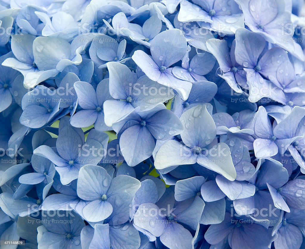 Blue Hydrangea macrophylla  with Raindrops stock photo