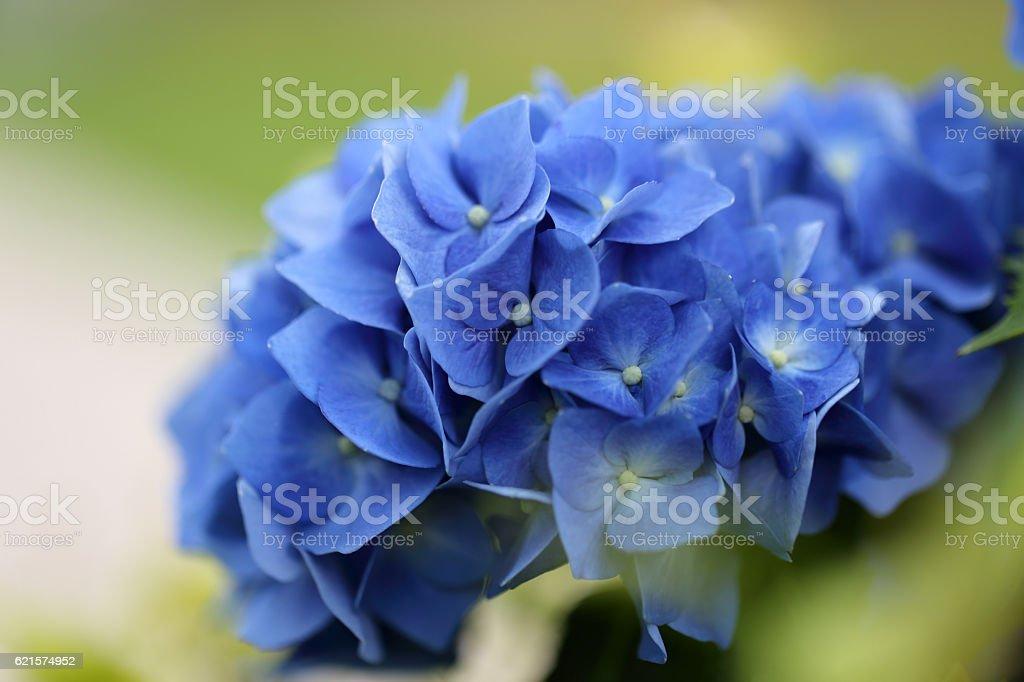 Blue Hydrangea on green garden background. photo libre de droits