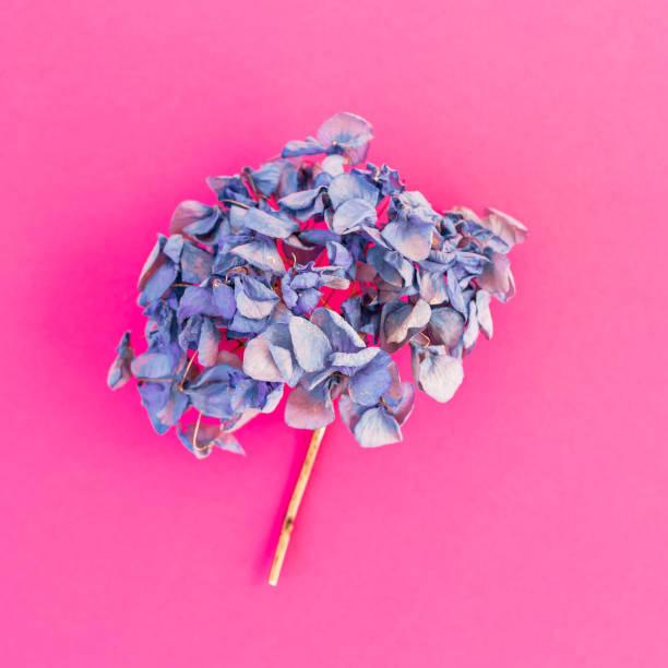 blaue hortensie auf rosa hintergrund. flach legen, top aussicht. - blumendrucktapete stock-fotos und bilder