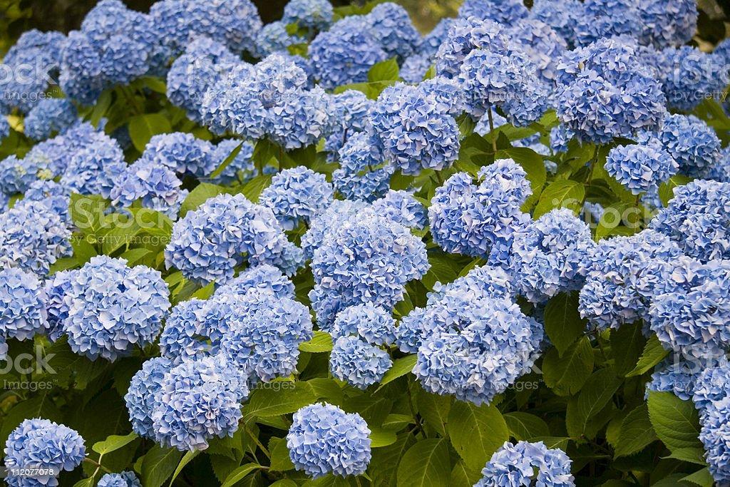 Blue Hydrangea royalty-free stock photo