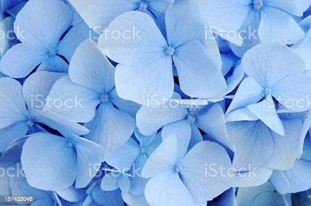 Photo of Blue Hydrangea