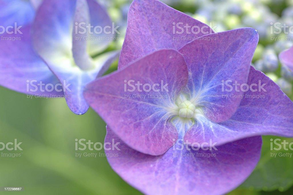 Blue hydrangea #3 royalty-free stock photo