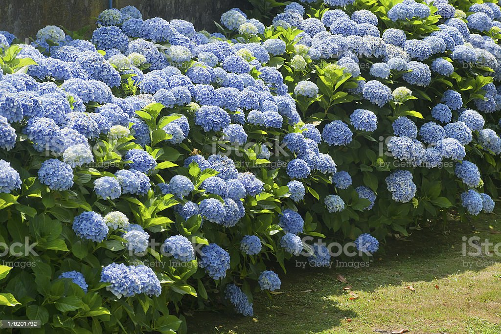 Blue hydrangea stock photo
