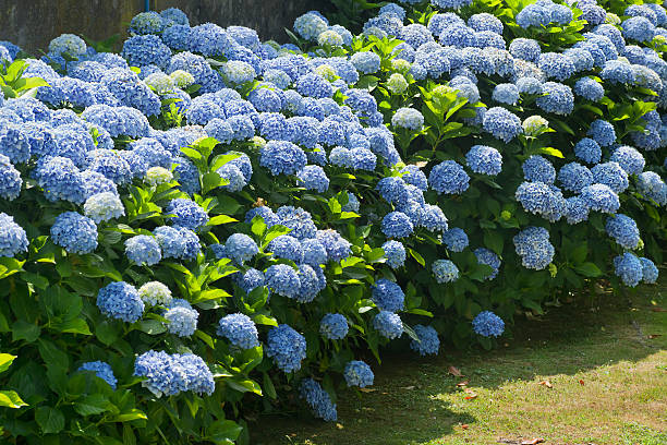 Blue hydrangea Bushes of blue hydrangea, flowers and green leaves. gracia baur stock pictures, royalty-free photos & images