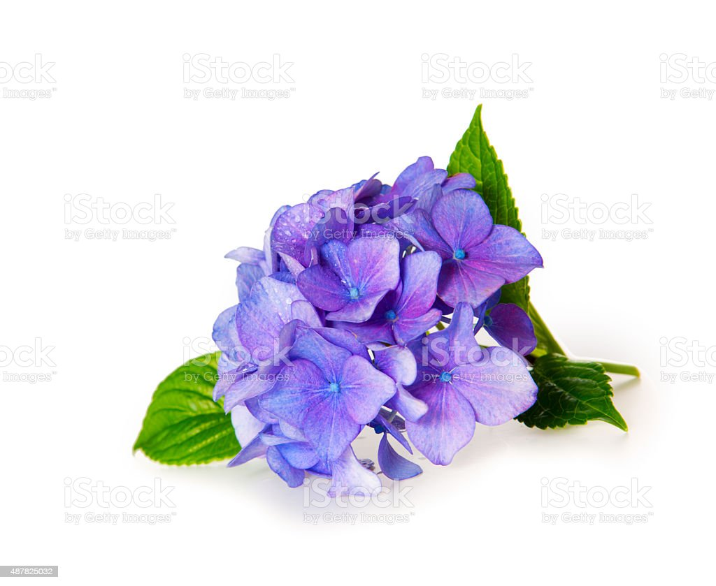 Blue Hydrangea. stock photo