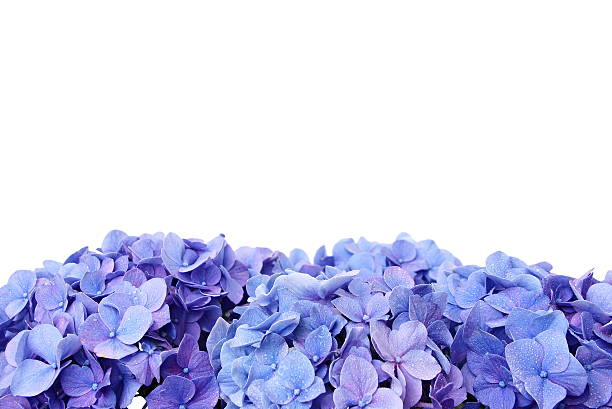 blue hortensja - hortensja zdjęcia i obrazy z banku zdjęć