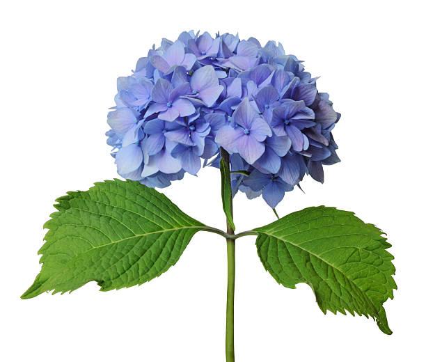 blue hortensja z zielony łodyga na białym tle - hortensja zdjęcia i obrazy z banku zdjęć