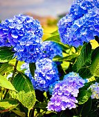 Thick plantings of hydrangeas growing by the beach