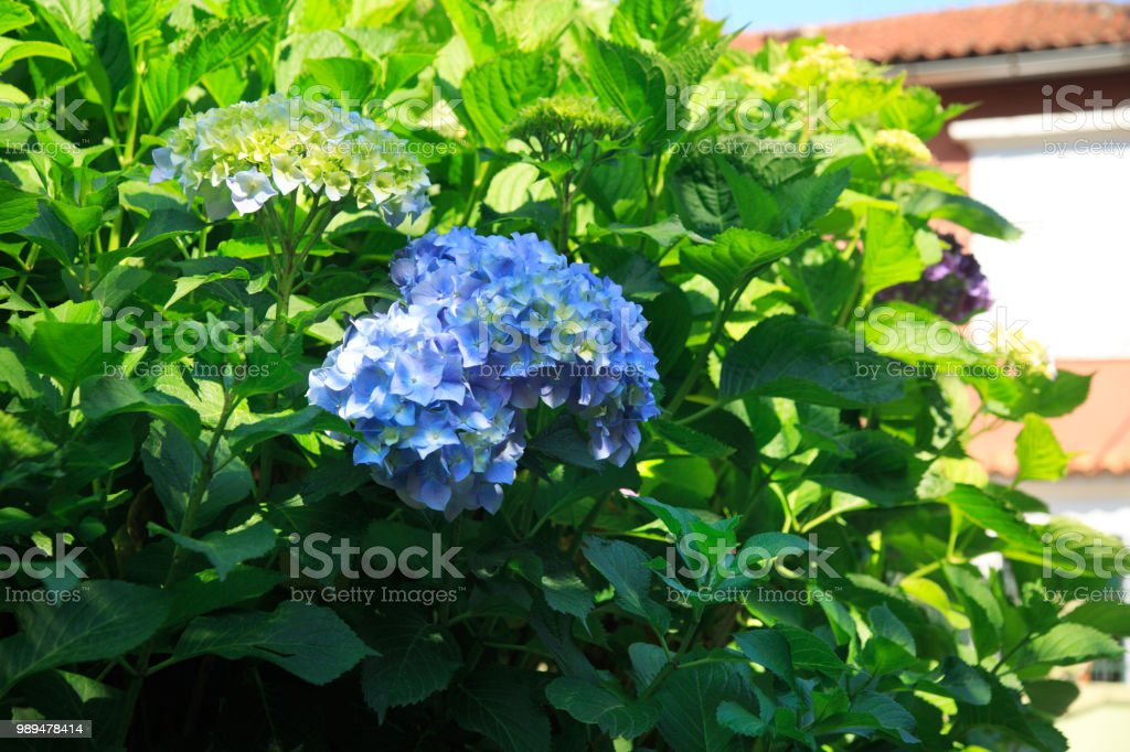 Blue hydrangeas in the garden. stock photo