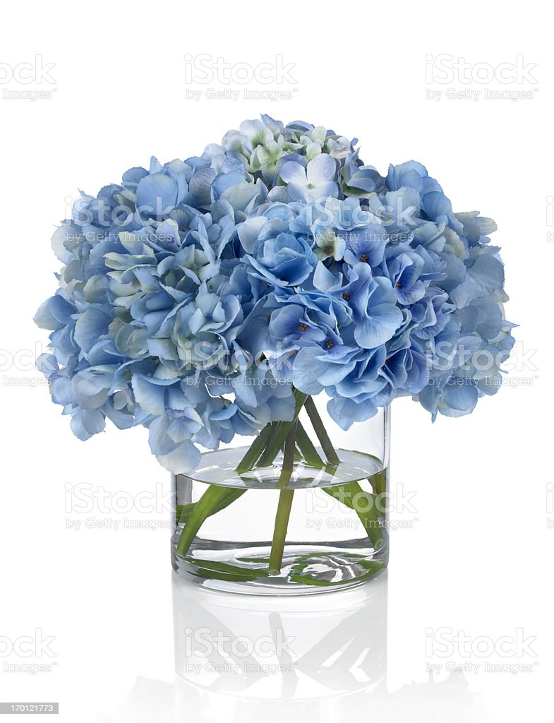 Blue Hydrangeas on a white background stock photo