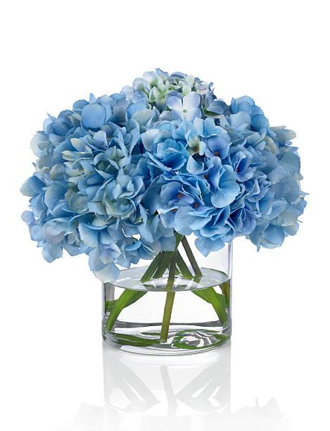 blue hydrangeas na białym tle - hortensja zdjęcia i obrazy z banku zdjęć