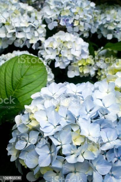 Photo of Blue hydrangeas