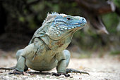 The rare Cayman Blue Iguana (Cyclura lewisi) is protected in the Queen Elizabeth II Botanic Park, where you can find the real natural habitat of this surprising creature. East End, Grand Cayman, Cayman Islands.