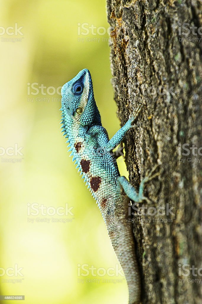 Blue iguana on tree branch stock photo
