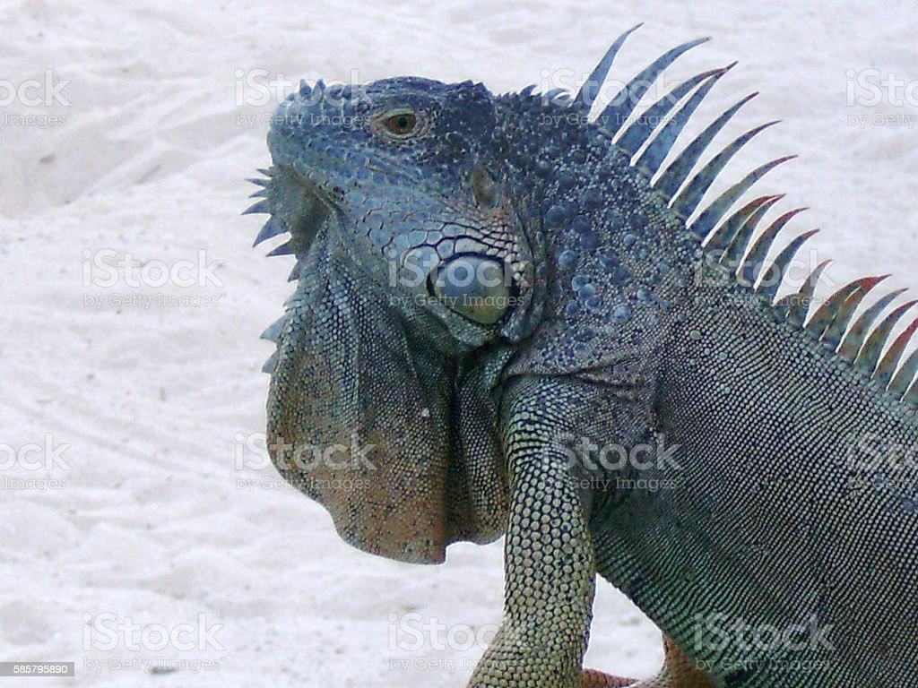 Blue Iguana Grand Cayman Blue Iguana. Grand Cayman Stock Photo