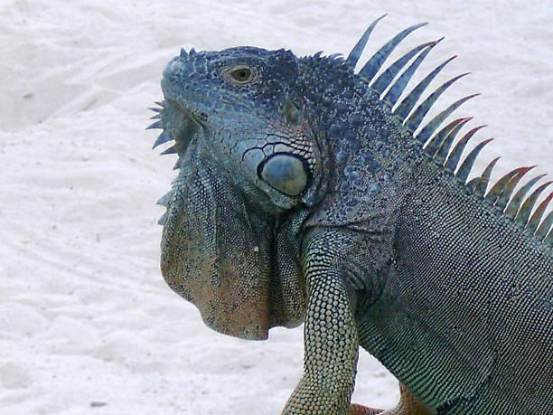 Blue Iguana stock photo