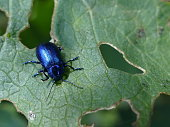 Blue insect, Alps, France