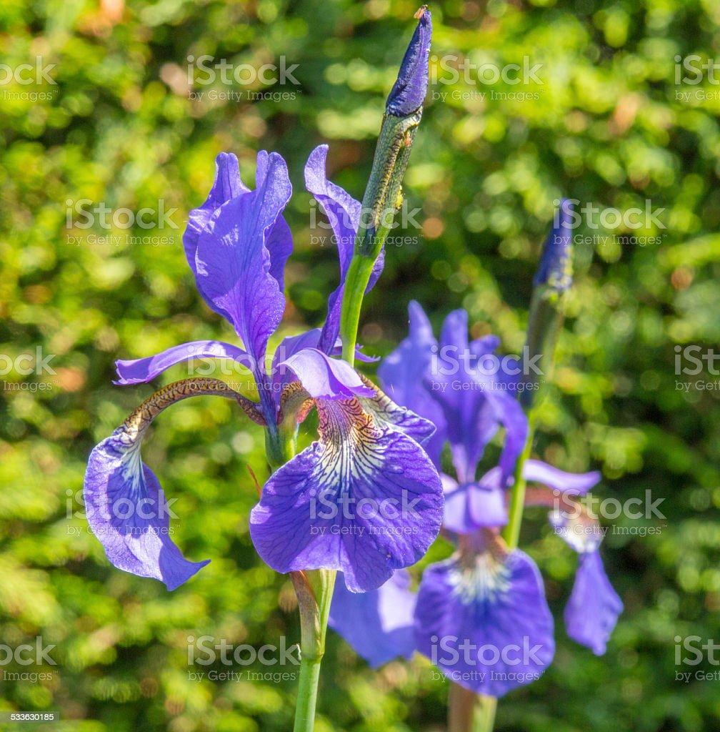 Blue Iris against a blurred hedge stock photo