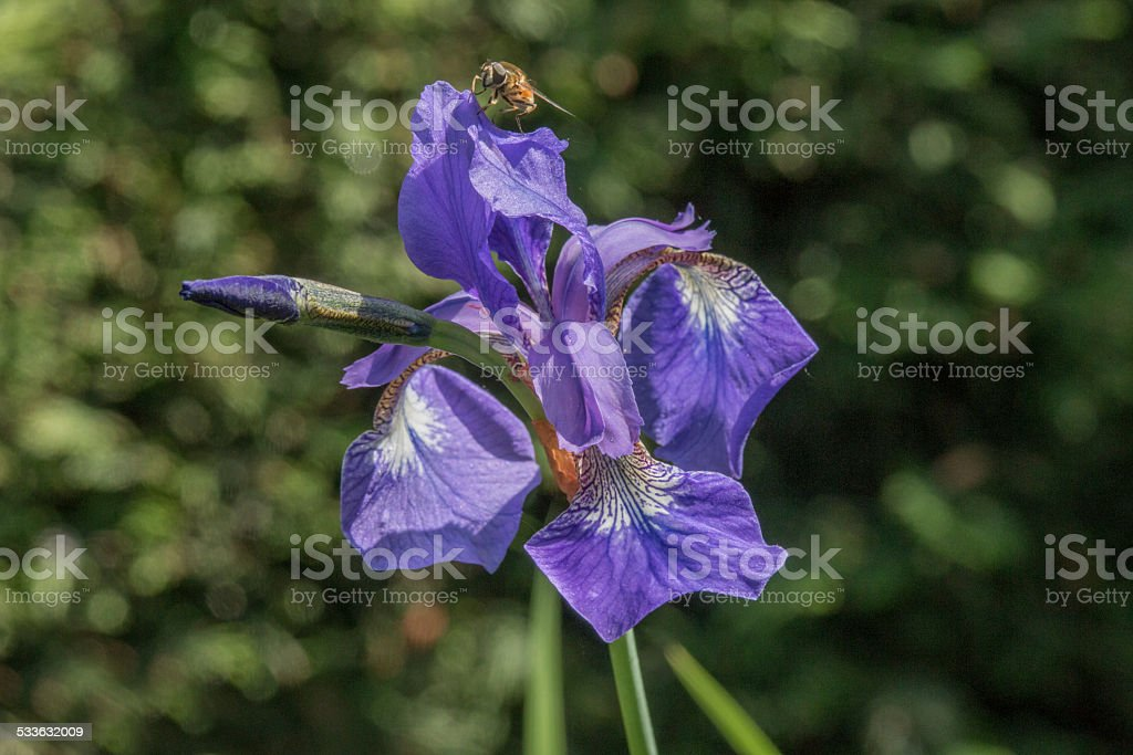 Blue Iris against blurred hedge,   hoverfly on the top petal stock photo
