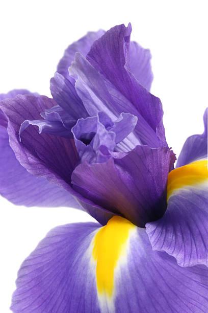 Blue Iris Flower stock photo